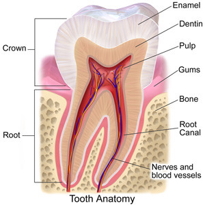 tooth-anatomy